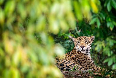 Jaguar-resting-in-forest,-Pantanal,-Braz