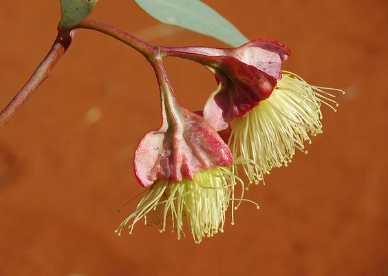 E. alatissima (2).JPG
