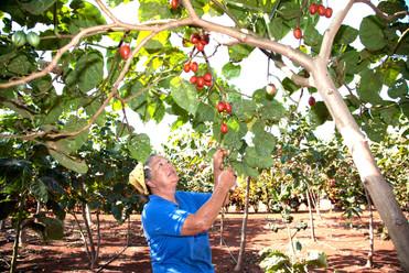Alberta's Farm - New Zealand Tree Tomatoes