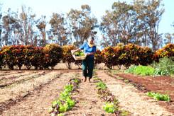 Alberta's Farm - Rows of Lettuce