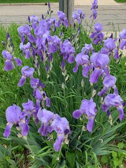 marys iris