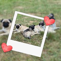pugs (1).jpg