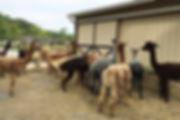 alpaca gathering.jpg