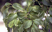 Cornus Forida (Eastern Flowering Dogwood