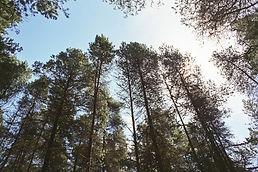 Lodgepole Pine (Pinus contorta contorta