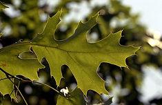 Quercus Velutina (Black Oak) V4, f4 - 6.