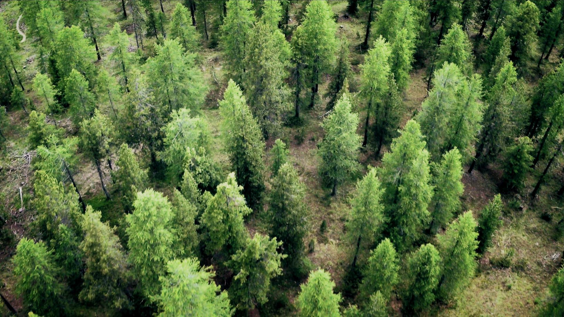 Forêt de mélèzes!