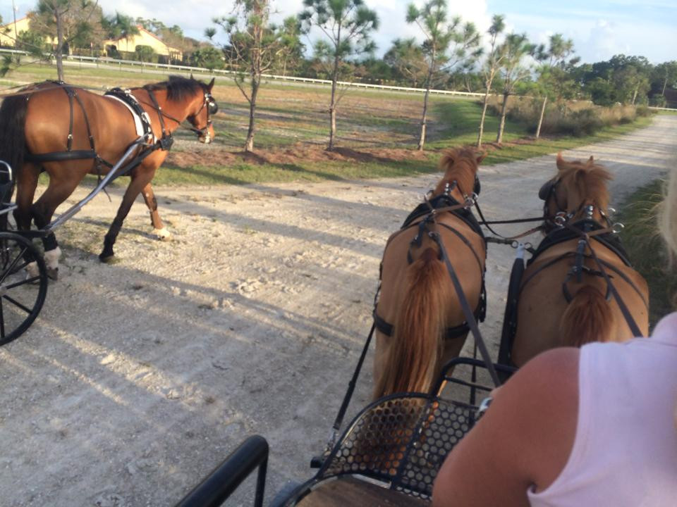 Sara's pony pair Pedr & Pryce out for a drive in Wellington
