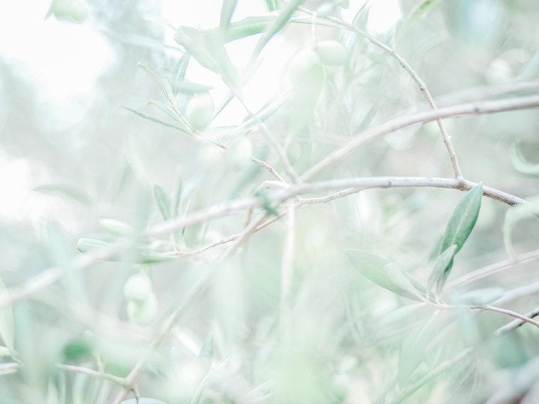 Olive trees (1 of 1).jpg