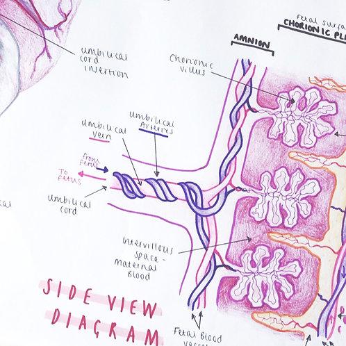 Placenta Diagrams