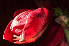 amaryllis-237424_1920.jpg