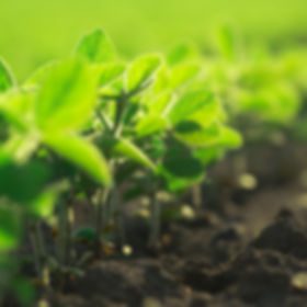 Young soybean plants growing in cultivat