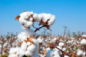 Branch of ripe cotton on the cotton fiel