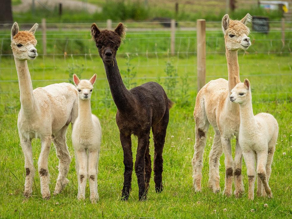 alpaca family - Copy.jpg