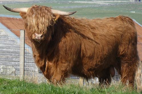 Stewing Steak Brue Highland Beef