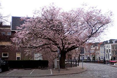 Prunusboom naast het Kalkbruggetje, gepl