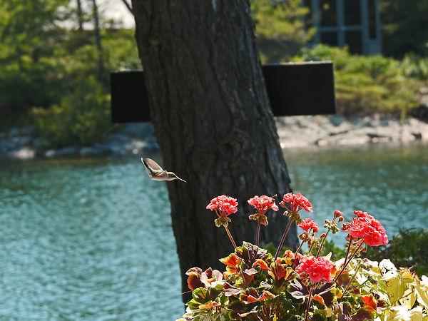 Hummingbird -PS1.jpg