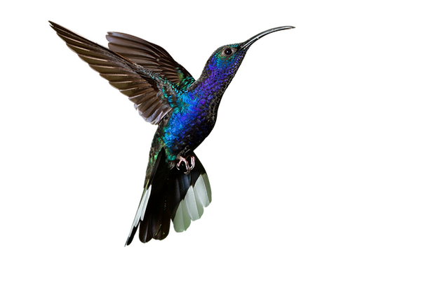 colibrí 4.png