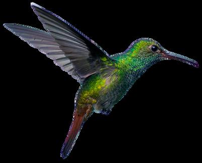 colibri 2.png