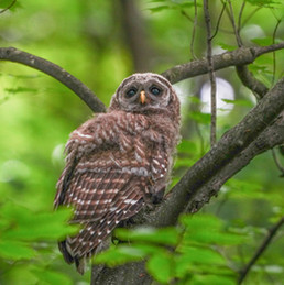 HIGH RES Barred Baby Owl.jpg