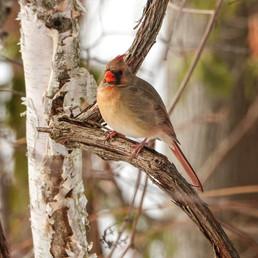 little lady cardinal - Copy.jpg