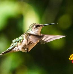 hovering hummingbird.jpg