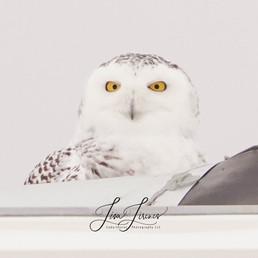 snowy owl glowing eyes.jpg