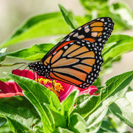 close up monarch.jpg