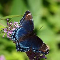 blue winger beauty.jpg