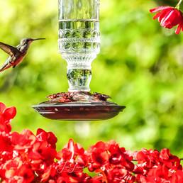hummingbird flowers.jpg