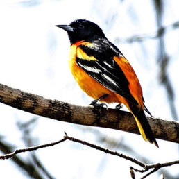 perched Oriole.jpg