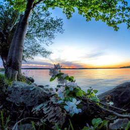 sunset trilliums.jpg