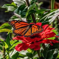 resting monarch.jpg