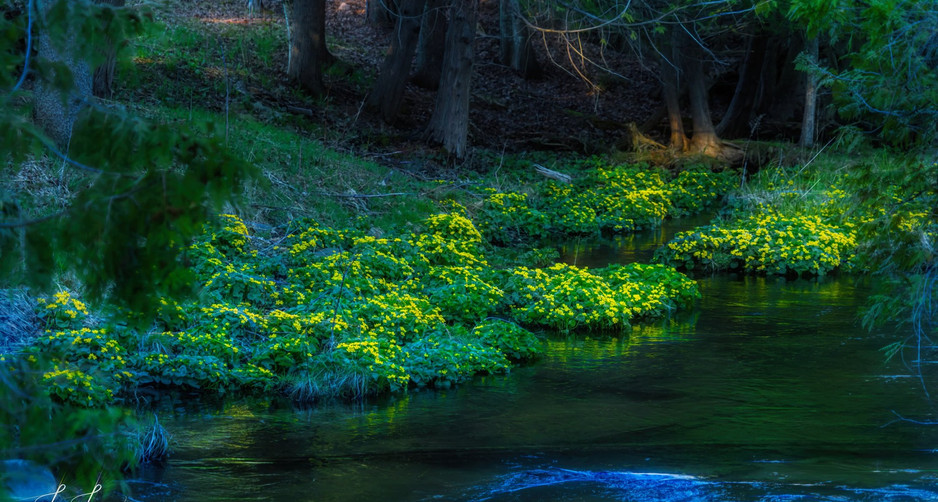 evening marsh marigolds.jpg