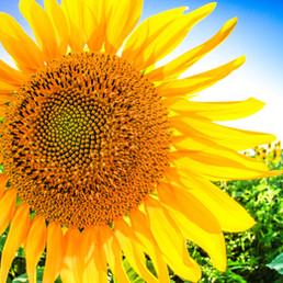 sunny sunflower 2020.jpg