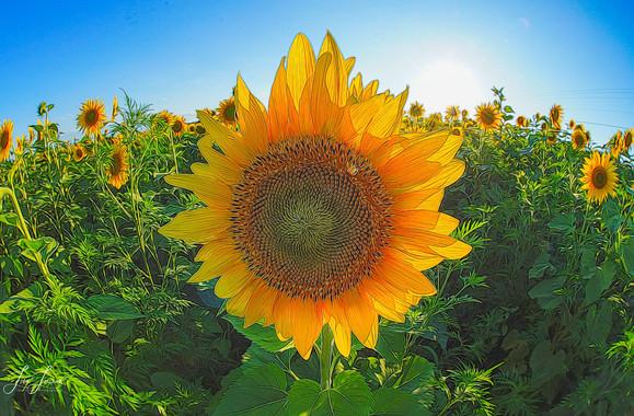 artistic sunflower 2020.jpg