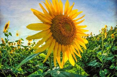 filtered sunflower 2020.jpg