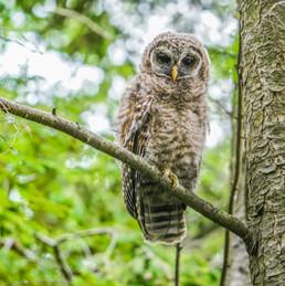 Brown owl.jpg