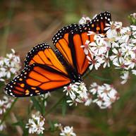 monarch on flowers.jpg