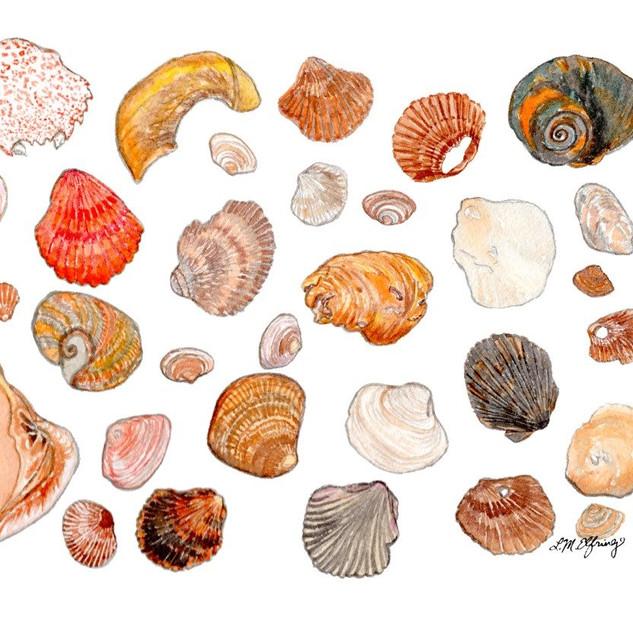 Orange Shells