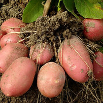 Kartoffeln und Wurzeln