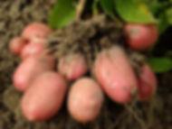 Pommes de terre et Racines