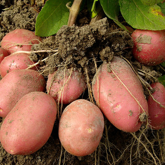 The Basics of Growing Potatoes