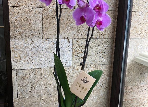 Орхидея двух веточная розовая
