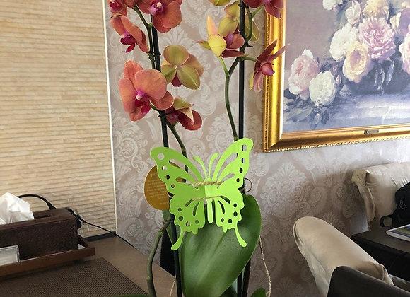 Орхидея двух веточная коралловая