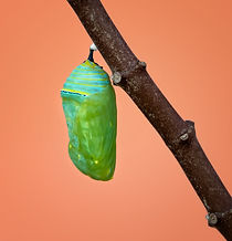 A fresh Monarch chrysalis or pupa attach