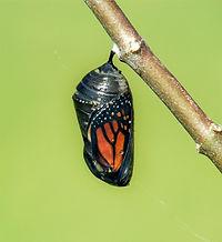 Monarch%2520butterfly%2520chrysalis%2520