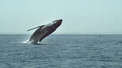 Humpback Whales - A Detective Story (5).