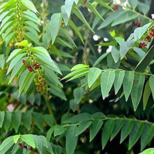 Sweet Leaf/Multivitamin Plant