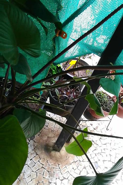 Homalomena Emerald Gem - Plant Studio Special